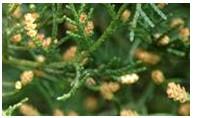 Risque allergique maximal lié aux pollens dans le Sud de la France