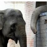 Les éléphants de Pinder doivent-ils être euthanasiés pour risque de tuberculose ?
