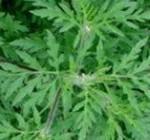 Ambroisie: une plante très allergisante