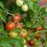 Rouge ou jaune, la tomate cuite n'a pas les mêmes atouts sur le plan nutritionnel