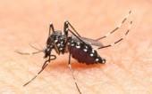 Alerte aux moustiques tigres à Paris
