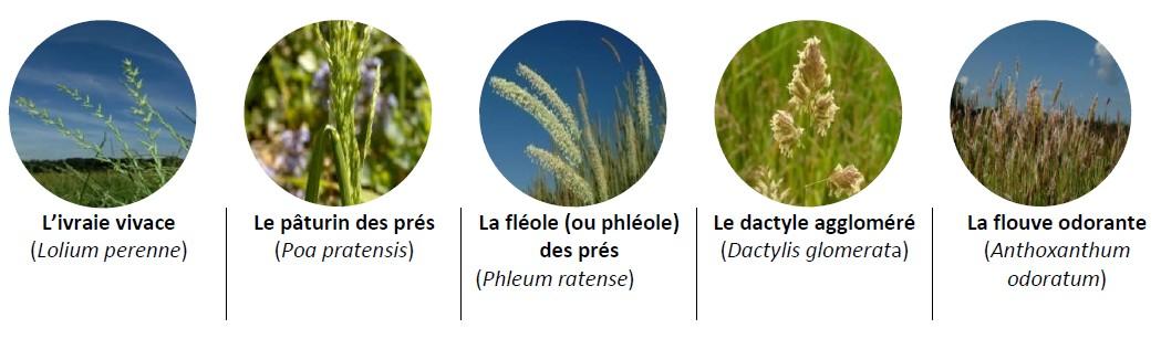 pollens graminés allergisants