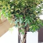 Schefflera : une plante d'intérieur ultra tolérante !