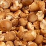 Shiitake : un champignon à ne pas consommer cru