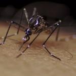 Virus Zika : des cas confirmés en Guyane et en Martinique