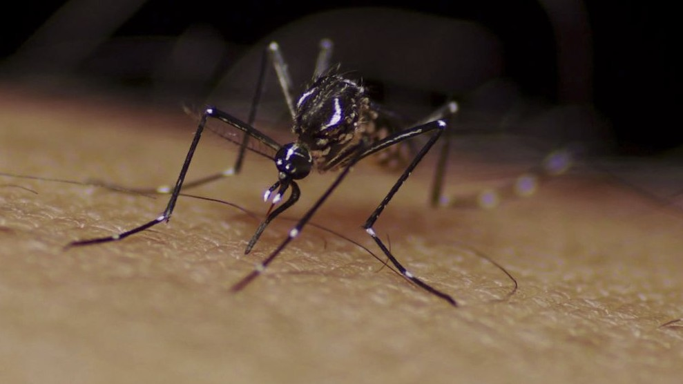 Aedes aegypti mosquito.  Copyright Sanofi Pasteur