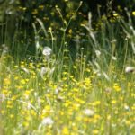 Graminées : un risque d'allergie de niveau élevé à très élevé cette semaine