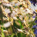 Graminées : un risque d'allergie associé de niveau élevé